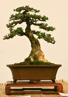 World Bonsai Convention 2009 - A Photo Essay Bonsai Tree Types, Indoor Bonsai Tree, Bonsai Art, Bonsai Garden, Bonsai Styles, Small Trees, Photo Essay, Cool Plants, Gardens