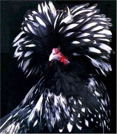 SILVER POLISH CHICKEN  By Stephen Greenarmytage    That's Polish like the people from Poland (even though the breed hails from Italy?), not polish like, uhm silver polish for cleaning silver. They are a show breed chicken with crest of feathers atop its head.  Comes bearded and non-bearded.