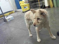 11/01/17 MARICOPA COUNTY, AZ.  15 YEAR OLD ANGELITA - ID#A4009110 Female, tan Chow Chow  I have been at the shelter since Oct 27, 2017.all: Maricopa County Animal Care & Control - West Valley Animal Care Center at (602) 506-7387  ID  A4009110