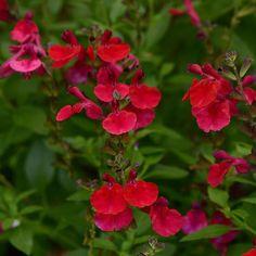 Salvia greggii Mirage™ Cherry Red
