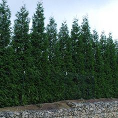"The ""Green Giant"" Thuja is a large fast growing evergreen that has been known to grow up to 3 feet a year. Its natural pyramid form makes an exceptional landscape tree. Green Giant Thuja can grow up to to feet high and have a feet spread. Front Yard Fence, Fence Gate, Fenced In Yard, Rail Fence, Dog Fence, Fence Panels, Fence Landscaping, Backyard Fences, Garden Fencing"