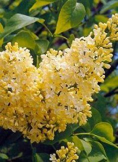 Rare Yellow Lilac Bush