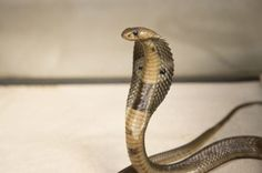YAY!-Florida wildlife agency may tighten rules for owning venomous snakes