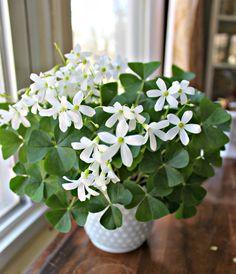 All Plants, Garden Plants, Indoor Plants, House Plants, Real Flowers, White Flowers, Beautiful Flowers, Irish Decor, Gardens