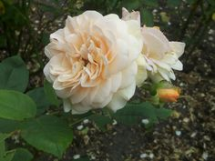 Rosa Abraham Darby staat in de gele rozenborder. Deze abrikoosgele roos, is een David Austin roos.  Wij hebben er 3 aangeplant in 2010.