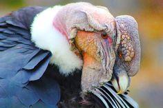 El rey de los Andes #nature #bird #beautiful #photo #birds #love #birdsofinstagram #photography #picture #art #cute #instameetec #wildlife #pic #natura #instagood #naturelovers #animals #instagram #landscape #animal #explore #fly #condor #rutaviva #instapic #allyouneedisecuador #andes #mountains #birdstagram by johngarcia98