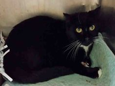SWEETIE - A1064555 - - Brooklyn Please Share: *** TO BE DESTROYED 02/10/16 *** PANTHER TRIO NEEDS HOMES TONIGHT!! SWEETIE, DEZA and COLLIN are more cats from a hoarding situation that have been listed over the past couple nights…..These three are all fixed and like their housemates are scared. They are cats that came from a home and will blossom again once they get over the shock of being wrenched away and separated from all they have known. Most of the cats have b