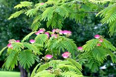 when I own a house, I am getting a silk tree