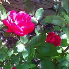 And the red Knock out roses are blooming as well!