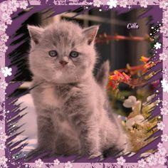 Dit meisje zal over een dik een week in onze cattery komen :-)