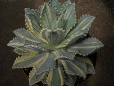 A lovely variegated agave potatorum 'Verschaffeltii' .  From Xeric World forum.