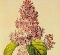 Lilac+Syringa+vulgaris+Vintage+Illustration+by+SurrenderDorothy,+$13.89
