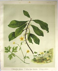 Sarah Featon, Ranunculus plebeius, Caltha Novae Zelandiae, Drimys axillaris - Sara FEATON  Hand-coloured engravings from The Art Album of New Zealand Flora, 1889. It contained descriptions of the native flowering plants of New Zealand and the adjacent islands.