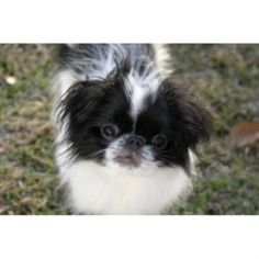 Japanese Chin Puppies, Dog Breed Info, R Dogs, Cute Puppies, North Carolina, Dog Breeds, Pets, Animals, Animales