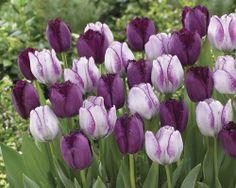 Pardon My Purple Tulip Blend - Veseys