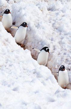 Penguins in Antartica Penguin Love, Cute Penguins, Penguin Walk, Penguin Parade, Beautiful Birds, Animals Beautiful, Cute Animals, Cute Animal Pictures, Penguin Pictures