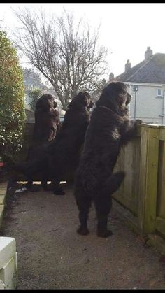 Hey guys…looks like there is a party going on. #NewfoundlandDog