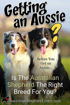 Are you getting an Australian Shepherd puppy or adopting an older Aussie? It is important that you read this before buying an Aussie and make sure that you choose the right dog breed for you. Merle Australian Shepherd, Aussie Shepherd Puppy, Australian Shepherd Colors, Australian Shepherd Training, Mini Australian Shepherds, Miniature American Shepherd, Puppy Training Classes, Dog Training, Training Exercises
