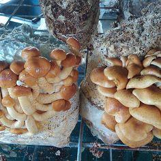 Nameko ready to go into miso.#nameko #mushrooms #fungi #mushroomcultivation
