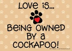 Love is... being owned by a Cockapoo!