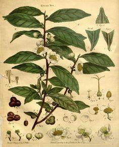 Camellia sinensis (L.) Kuntze var. green tea Lettsom, J.C., The natural history of the tea-tree, p. i (1799) [J. Miller]
