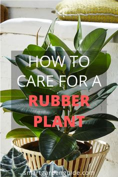 This rubber plant care guide will help you grow a beautiful and healthy rubber plant. Top tips for growing ficus elastica and solutions to common problems. Rubber Plant Care, Plant Cuttings, Propagation, Water Plants Indoor, House Plant Care, House Plants, Elephant Ear Plant, Self Watering Pots, Ficus Elastica