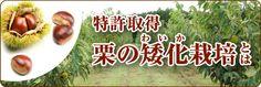 栗の矮化栽培