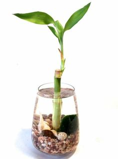 Bamboo garden helps you to pursue gardening, ornament home and moreover at the same time, has got some importance in Feng-shui as well. lucky bamboo is considered better tree-plant for doing Feng-shui cure for your home. Feng Shui Lucky Bamboo, Lucky Bamboo Plants, Indoor Water Garden, Indoor Plants, Lucky Bamboo Care, Zen Bathroom Decor, Room With Plants, Bamboo Design, Marimo