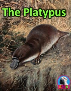 Platypuses PPT: Interesting and fun facts all about platypuses. Learn about the platypus in this nonfiction resource for teachers, students, and parents! Science Education, Science Activities, Animal Activities, Elementary Science, Science Ideas, Science Lessons, Classroom Activities, Animals For Kids, Farm Animals