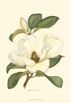 Magnolia Art Print at Art.com