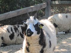 Jacob's sheep smiles for the camera!