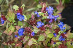 25 talajtakaró növény, melyekkel gyönyörűvé teheted a kertet! - CityGreen.hu Geraniums, Plants, Gardening, Lawn And Garden, Plant, Planets, Horticulture