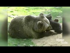 LibraryLook: European Brown Bear - Europese Bruine Beer - YouTube