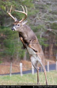 A stock picture of a buck whitetail deer jumping over a fence. Whitetail Deer Pictures, Whitetail Deer Hunting, Deer Photos, Whitetail Bucks, Deer Pics, Deer Jumping, Deer Species, Deer Wallpaper, Big Deer