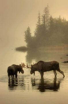 2 Moose in foggy lake autumn