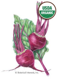 """48 days. Early Wonder has it all: tasty, abundant greens, flavorful beets, and early production. An excellent choice. Great for mild climates where multiple crops are possible. The 18"""" greens are as delicious as chard or spinach and high in vitamins A and C, iron and potassium. Beet seed is actually a dried fruit with 1-5 seeds in each fruit, so proper thinning is very important."""