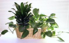 Cómo cultivar plantas caseras en agua (hidroponia) - wikiHow