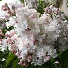 Flieder Syringa vulgaris 'Beauty of Moscow' - Weiße Flieder - Flieder-Premium Fliedertraum