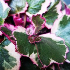 SAXIFRAGA STOLONIFERA /'cuscutiformis One Young Living Plant