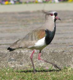 """Vanellus chilensis, in Brazil """"quero quero"""". Elegant bird."""