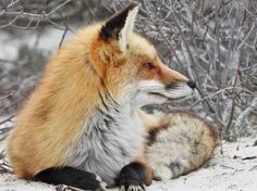 Red Fox by Sharon Y. - National Geographic Your Shot