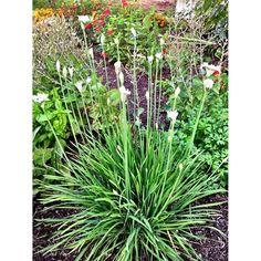 Dead head Garlic flowers