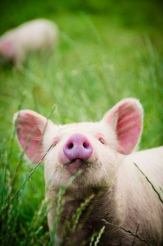 A baby pig would be such a fun pet!