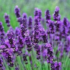 Lavender Hidcote Flower Seeds (Lavandula Angustifolia) 50+Seeds - Under The Sun Seeds  - 3