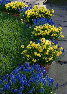 """Spring flowers   Muscari Armeniacum  Narciccus """"tete-a-tete""""   Spring bulbs in containers"""