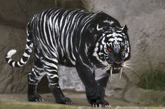 Top 10 Animals That Are The Wrong Color. @ of which are Albinos, and 1 is melanistic. Big Animals, Majestic Animals, Rare Animals, Black Animals, Cute Baby Animals, Strange Animals, Wolf With Red Eyes, Big Cats, Cool Cats