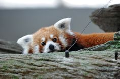 red pandas are far cuter than proper pandas! look at this little face. It´s like the best of a fox, a koala and a panda, rolled into one animal :)
