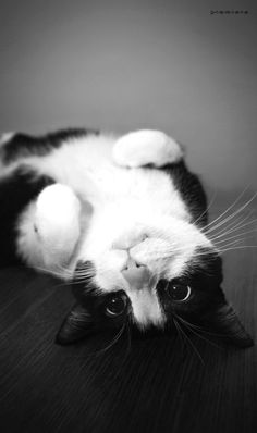 Cute cat :)..                                                 This looks like my Oreo