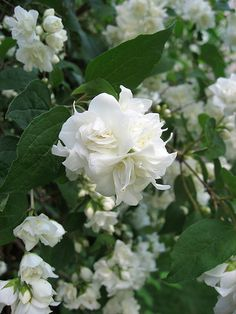 Philadelphus Virginal Mock Orange - beautiful shrub - AMAZING scent. We have just planted 2 in our white flower bed