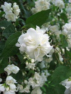 Philadelphus Virginal Mock Orange - beautiful shrub - AMAZING scent!